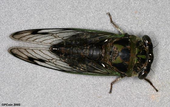 Southern Dog Day Cicada - Neotibicen davisi - male