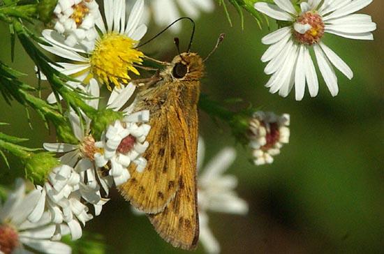 A skipper but what kind? - Hylephila phyleus