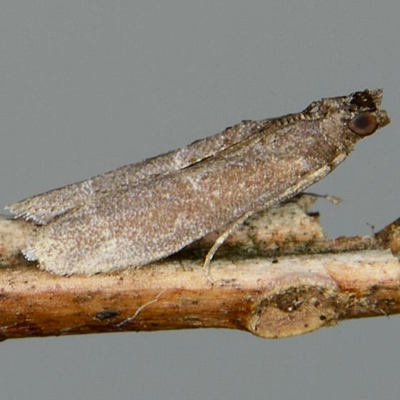 Cabnia myronella  - Cabnia myronella