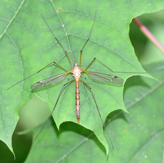 Crane Fly A - unident