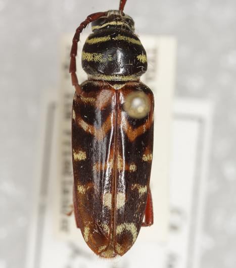 Megacyllene robiniae (Forster) - Megacyllene robiniae