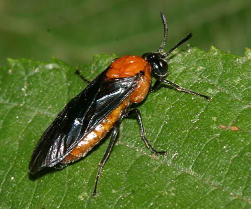 Sawfly - Arge pectoralis