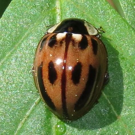 Lady beetle - Myzia subvittata