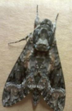 large moth unknown? - Agrius cingulata