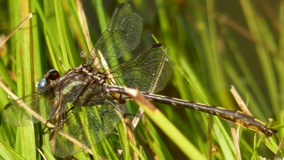 Lancet Clubtail (Gomphus exilis) - Phanogomphus exilis - male