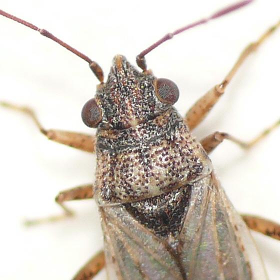 Orsilline Seed bug from Idaho 10.07.05 - Nysius