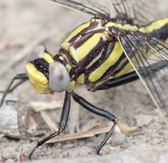 Plains Clubtail - Gomphurus externus - male