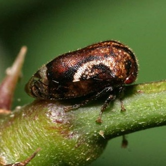 Black Locust Treehopper - Vanduzea arquata