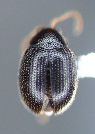 Epitrix brevis