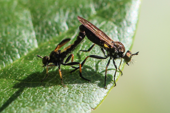 Mating Robber Flies - Eudioctria sackeni - male - female