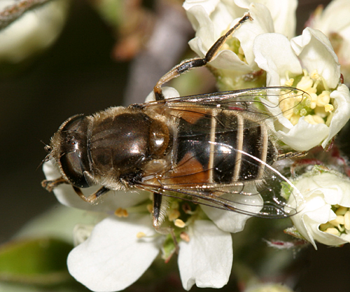 Fly - Eristalis arbustorum - female