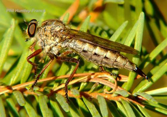 Robber Fly - Neomochtherus