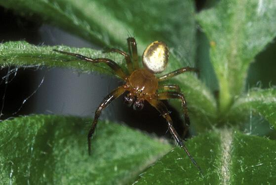 Orb Weaver Spider - Araniella displicata