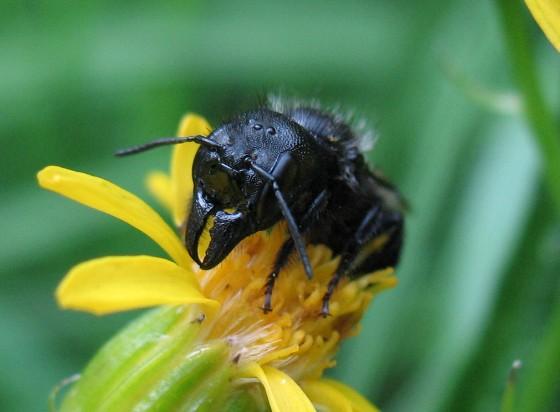 bee - Osmia montana - female