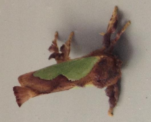 Moth? - Euclea delphinii