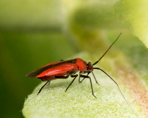 colorado bug ID - Lopidea