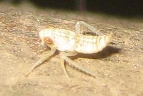 Leafhopper nymph - Orientus ishidae