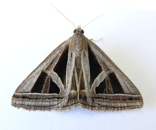 Arizona Moth - Callistege triangula
