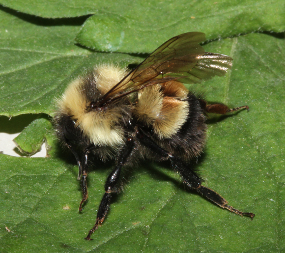 Rusty-patched Bumble Bee, lateral - Bombus affinis