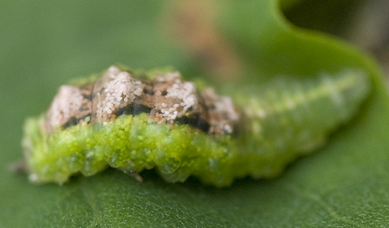 Syrphid larva on black locust leaf