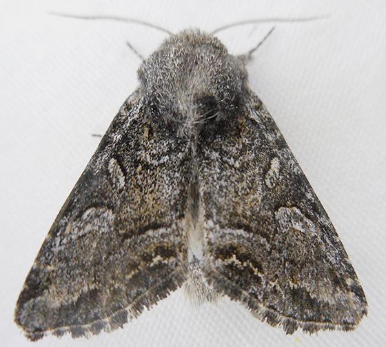 Moth - Epidemas obscurus