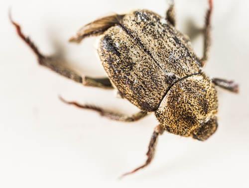 unknown beetle - Hoplia