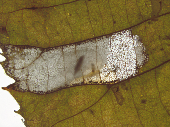 Gracillariidae, Basswood Square-blotch Miner - Phyllonorycter lucetiella