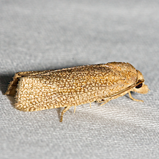 3126 - Pelochrista mobilensis