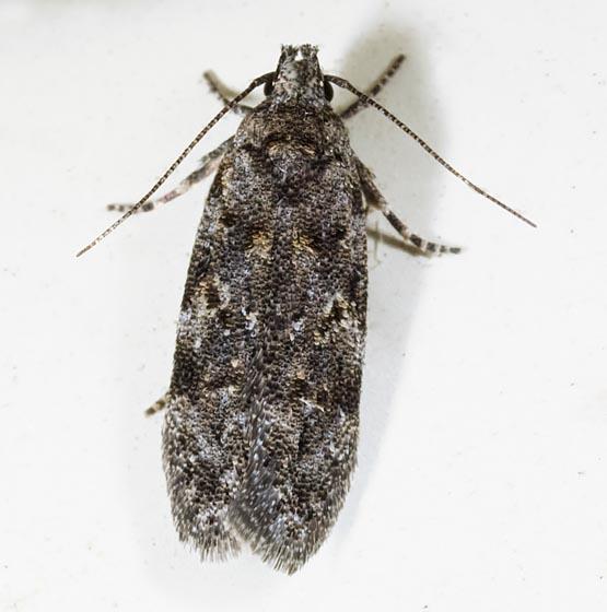 Xenolechia ontariensis? - Xenolechia ontariensis