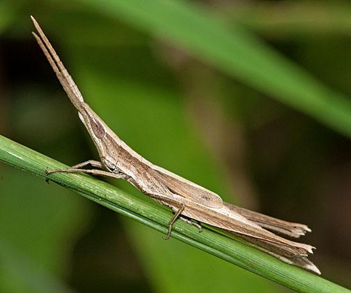 Tamaulipan Toothpick Grasshopper - Achurum minimipenne - male