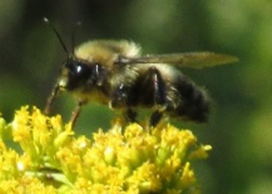 bee 2 - Bombus rufocinctus