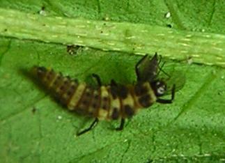 Lady beetle larva with prey - Day 4 - Coleomegilla maculata