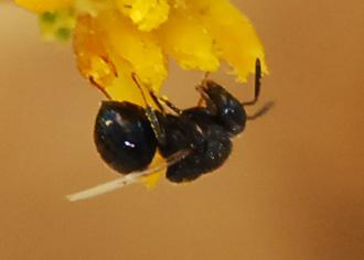 Small bee? No, actually a parasitoid.
