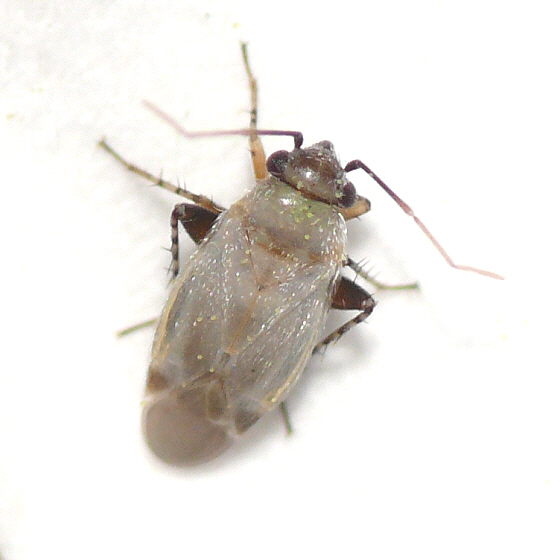 Europiella decolor - female