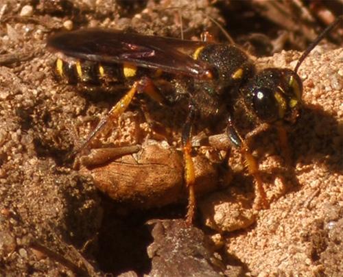 Cerceris halone and Curculio prey - Cerceris halone - female