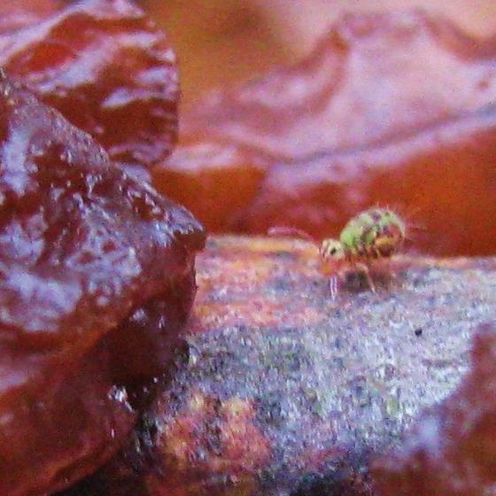 TINY little bug! - Dicyrtomina