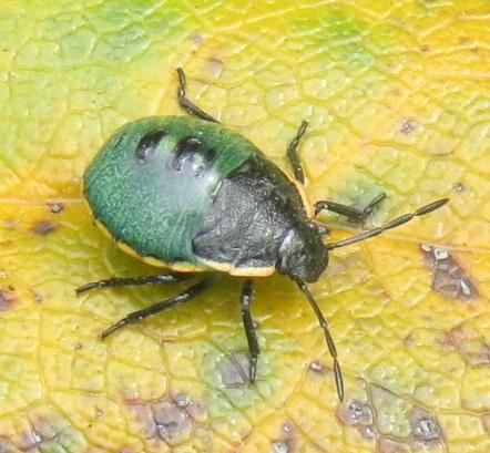 instar of green stink bug? - Chlorochroa