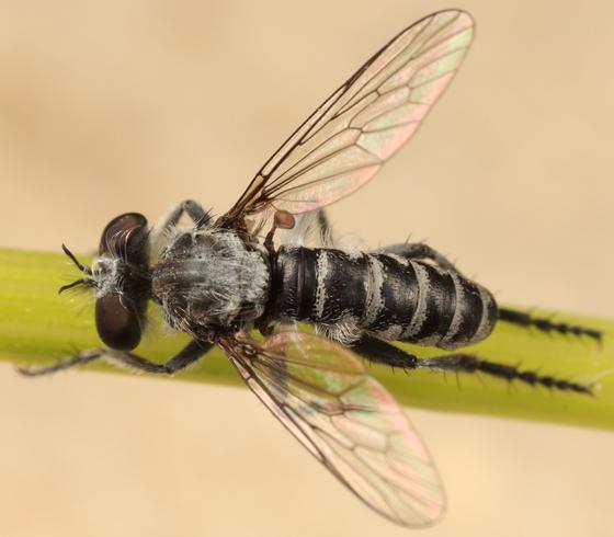 robber fly - Nannocyrtopogon - male