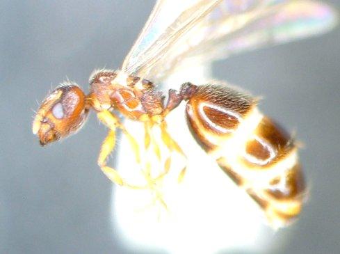 Ant 13 - Pheidole - female