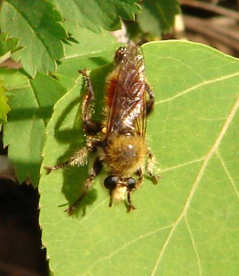 Robber Fly - Laphria fernaldi