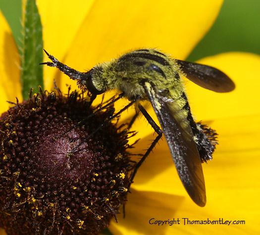 Bee Fly - Lepidophora lutea