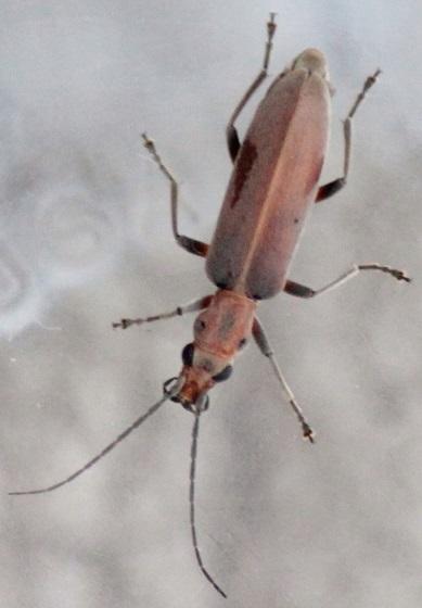 false blister beetle ? - Oxacis trirossi