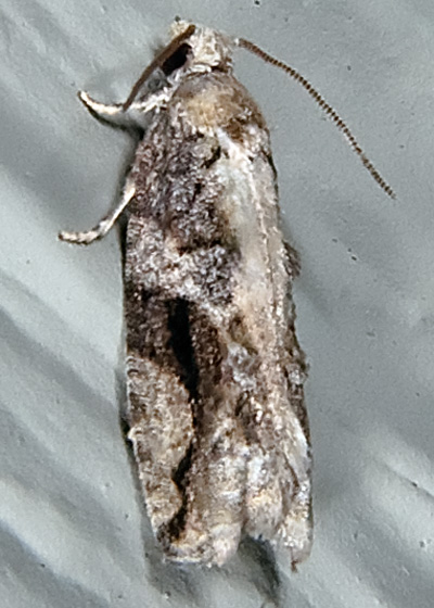 Black-crescentProteoteras - Proteoteras crescentana