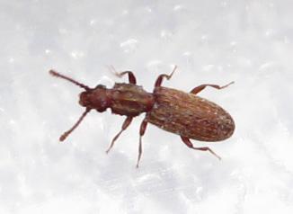 saw-toothed grain beetle - Oryzaephilus surinamensis