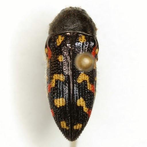 Acmaeodera gibbula LeConte - Acmaeodera gibbula