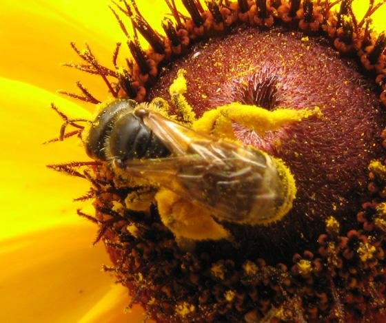 Bee on Asteraceae - Halictus ligatus - female