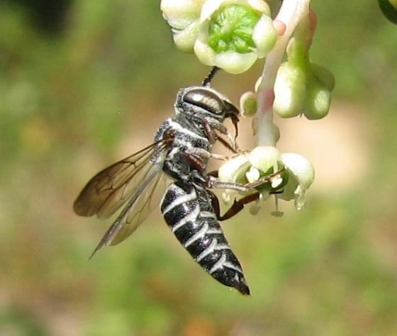 bee - Coelioxys modestus