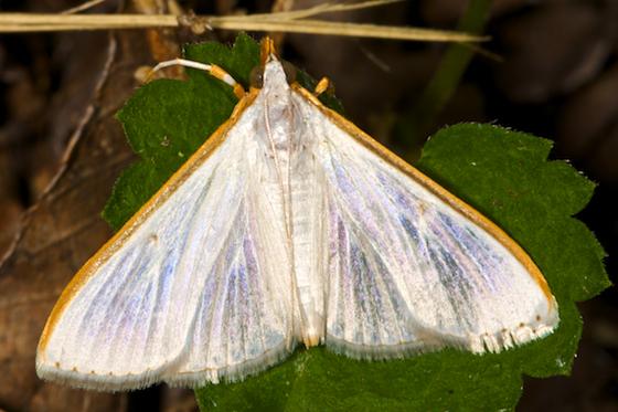 Moth? - Diaphania costata