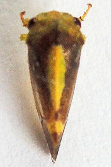 treehopper - Atymna helena - male