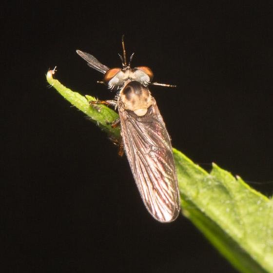 Small Robber - Holcocephala